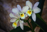Pale Purple Orchids by Pistos, photography->flowers gallery