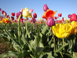 Multicolored Tulip Field by auroraobers, Photography->Flowers gallery