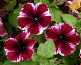 Another Unusual Petunia by trixxie17, photography->flowers gallery
