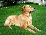 Yogi - The Regal Retriever by jace53, photography->pets gallery