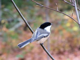 Li'l Chickadee 2 by muggsy, Photography->Birds gallery