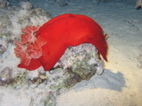 Spanish Dancer by helmutsc, Photography->Underwater gallery