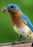 Male Bluebird by gharwood, photography->birds gallery