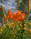 Tiger, Tiger, Burning Bright by phasmid, Photography->Flowers gallery