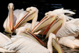 Pelican meeting by Paul_Gerritsen, Photography->Birds gallery