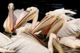Pelican meeting by Paul_Gerritsen, Photography->Birds gallery