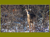 Elusive Buck by gerryp, photography->animals gallery