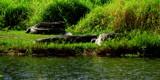 Alligators all around. by GomekFlorida, photography->reptiles/amphibians gallery