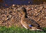 Just Mama Duck by biffobear, photography->birds gallery