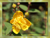 Rose of Sharon (Hypericum Calycinum) by LynEve, photography->flowers gallery