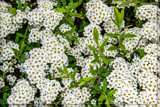 F² Spiraea Japonica 'Bridal Veil' by corngrowth, photography->flowers gallery