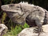Spinytail Iguana by ekowalska, photography->reptiles/amphibians gallery