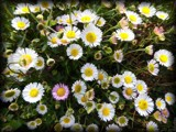 Tiny Daisies by LynEve, photography->flowers gallery