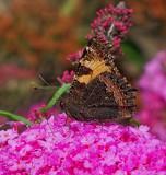 Small tortoiseshell,Wings folded by biffobear, photography->butterflies gallery