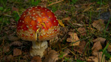 Chubby Fly Agaric by SEFA, photography->mushrooms gallery