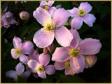 Clematis by LynEve, photography->flowers gallery