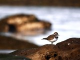 Killdeer Return by mayne, Photography->Birds gallery