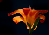 luminous lily by solita17, Photography->Flowers gallery