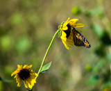 Sunflowers and Monarch by Pistos, photography->butterflies gallery