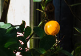 Identifiable Orange by Pistos, photography->gardens gallery