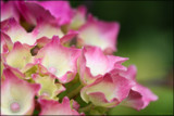 Hydrangea by LynEve, photography->flowers gallery