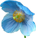 Blue Poppy by ccmerino, photography->flowers gallery