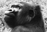 SilverBack by tomsy, Photography->Animals gallery