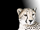 Cheetah - Smaller version by Crusader, Photography->Manipulation gallery