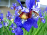 Painted Iris by pixelpusher, photography->flowers gallery