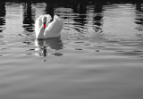 Yet Another Swan, Again! by braces, Photography->Birds gallery