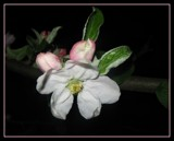 [crab] apple blossom by Marzena, photography->flowers gallery