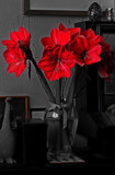 Celebration Amaryllis by braces, photography->flowers gallery