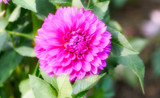 Dahlia Lovely by tigger3, photography->flowers gallery