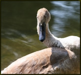 The Mute Swan #6 by tigger3, photography->birds gallery