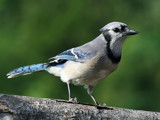 I'm a blue bird, a blue bird... by egggray, Photography->Birds gallery