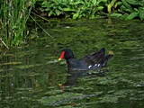 Moorhen in Peasouper by gonedigital, photography->birds gallery