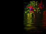 Lakeland Lobelia by biffobear, Photography->Manipulation gallery