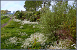 Hawthorns And Cow Parsley 3 by corngrowth, photography->landscape gallery