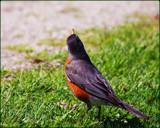 Bobb'n Robin by tigger3, photography->birds gallery