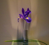 Iris by ccmerino, Photography->Flowers gallery
