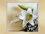 Christmas Lily by LynEve, Photography->Flowers gallery