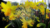 Flat Pack Daffs by braces, photography->manipulation gallery