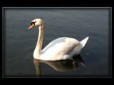 Swimming Swan by Nauxilium, Photography->Animals gallery