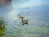 Threes Company: Quackers by Benjamin1993, Photography->Birds gallery
