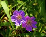 Wild Geranium by trixxie17, photography->flowers gallery