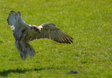 Saker Falcon by biffobear, photography->birds gallery