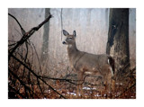 Deer In Mist by gerryp, Photography->Animals gallery