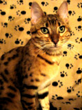 Portrait of a Bengal by June, photography->pets gallery