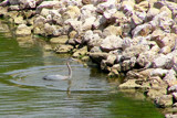 Great Blue Heron 2 by kidder, Photography->Birds gallery