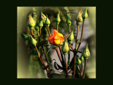 Budding Roses by LynEve, Photography->Flowers gallery